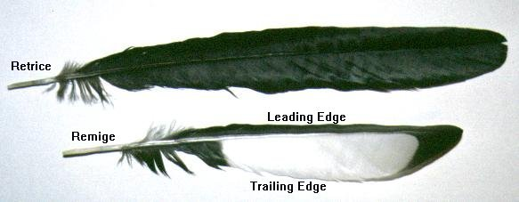 Retrice and Remige, leading and trailing edge