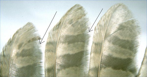 feathers without barbules