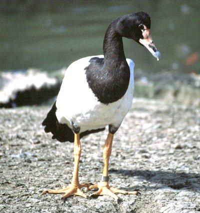 or Magpie goose