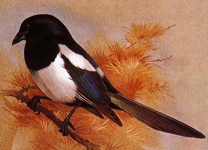 The Earthlife Web - The Corvids (Crows, Magpies, Ravens etc )