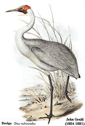 crane bird illustration