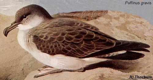 shearwater bird