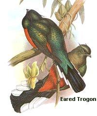 eared trogon