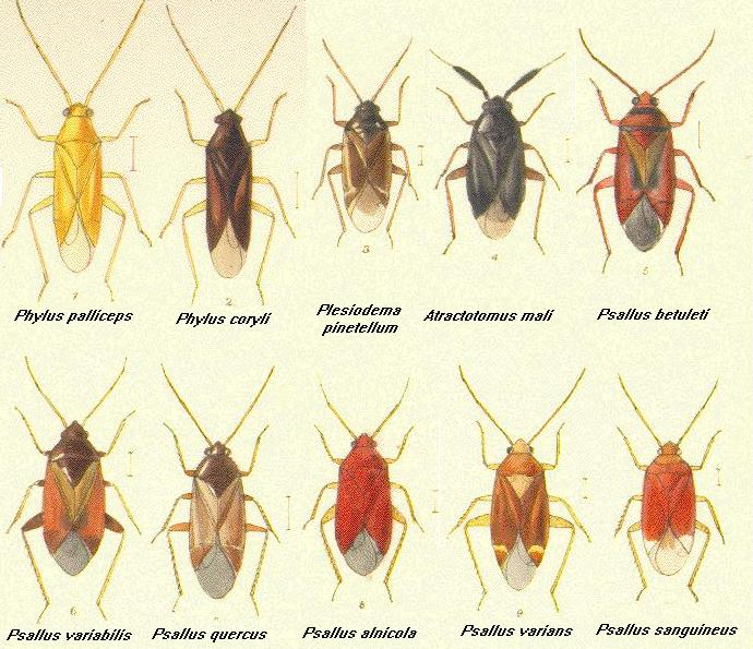 Hemiptera Thumbnails