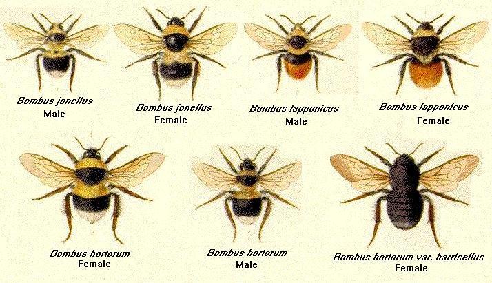 گونه هاي زنبوران عسل بدون نيش يا بامبوس