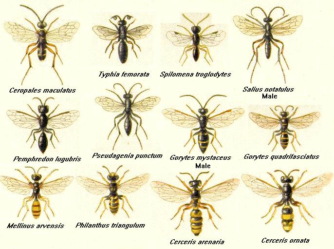 types of wasps