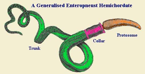 Enteropneusts on 5 7 Hemi Diagram