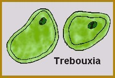trebouxia diagram