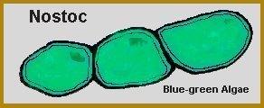 lichen symbiosis nostoc blue green algae