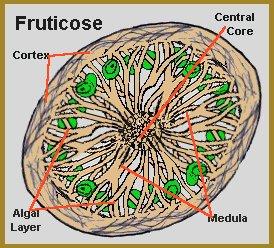 fruticose lichen central core, medula and algal layer
