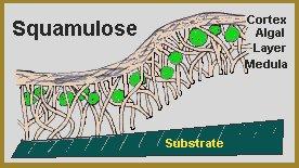 squamulose lichen type