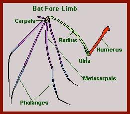 bat fore limb diagram