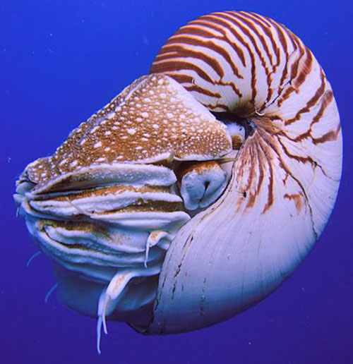 Living Nautilus with feeding tentacles retracted.