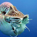 Order Nautilida: The Ancient and Enigmatic Nautilus