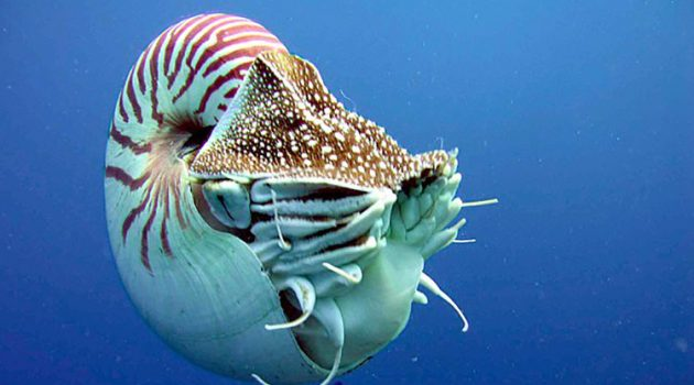 A live Nautilus with feeding tentacles extended.