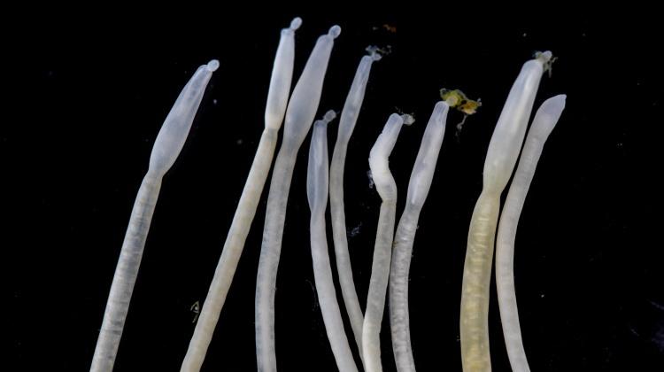 Acanthocephala collection