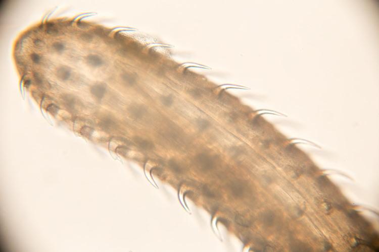 spiny headed worm