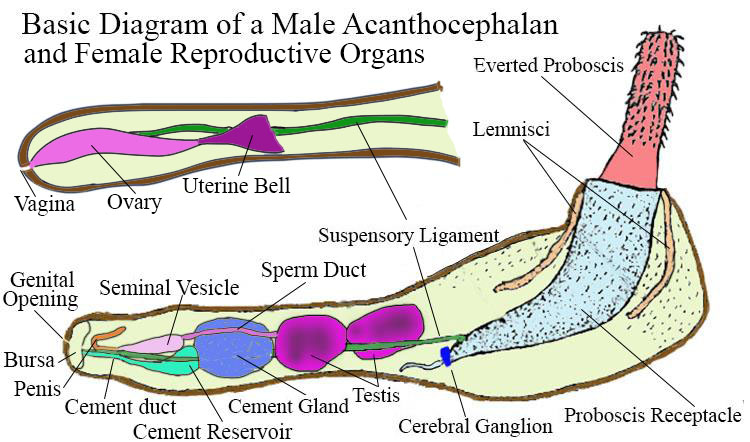 Basic diagram of the acanthocephalan internal anatomy.