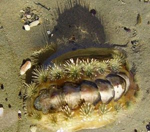 Polyplacophora Acanthochitona zelandicais