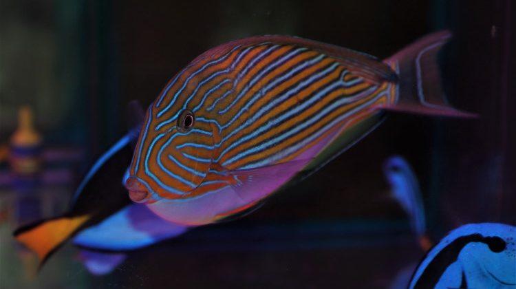Acanthuridae surgeon fish feature image