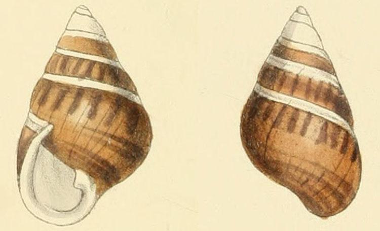 Achatinella perversa, an extinct species of Hawaiian tree snail.