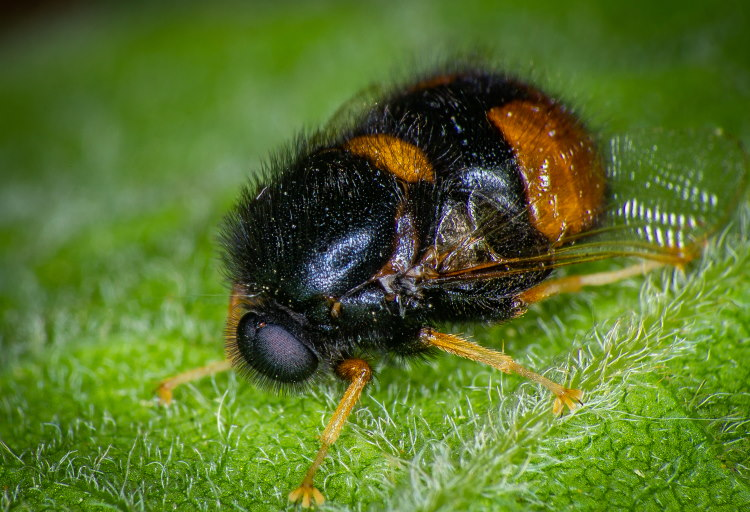 Brachycera Acroceridae