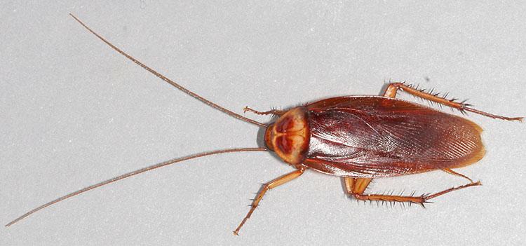 American Cockroach; Periplaneta americana