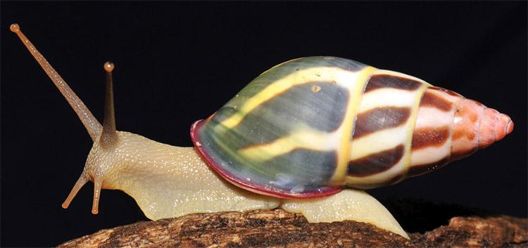 Amphidromus fuscolabris