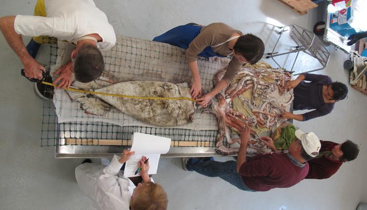 Architeuthis giant squid