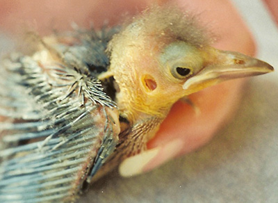 Baby Grackle showing the ear opening