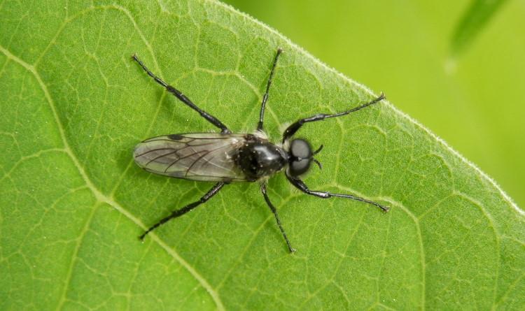 Bibio albipennis love bug