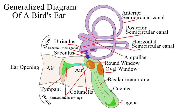 Diagram of a bird's ear.