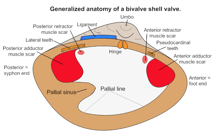 bivalve shell anatomy diagram