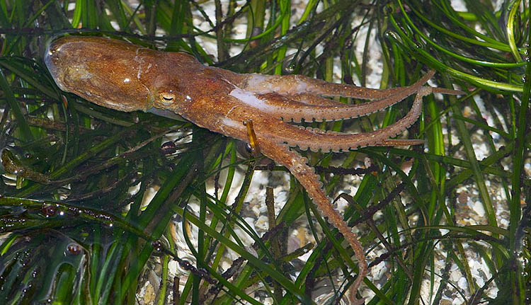 Californian Two-spot Octopus (Octopus bimaculoides)