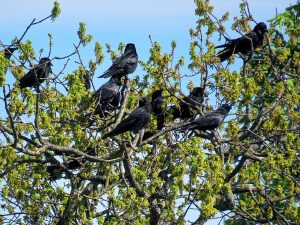 A Flock of Carrion Crows demonstrate intelligence