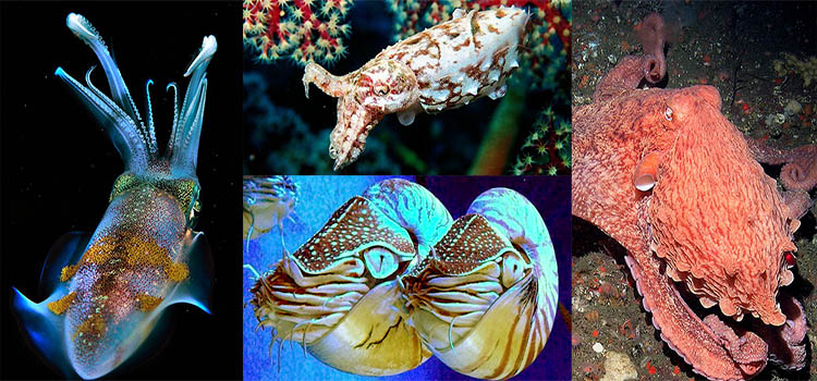 Image of the four groups of Cephalopods