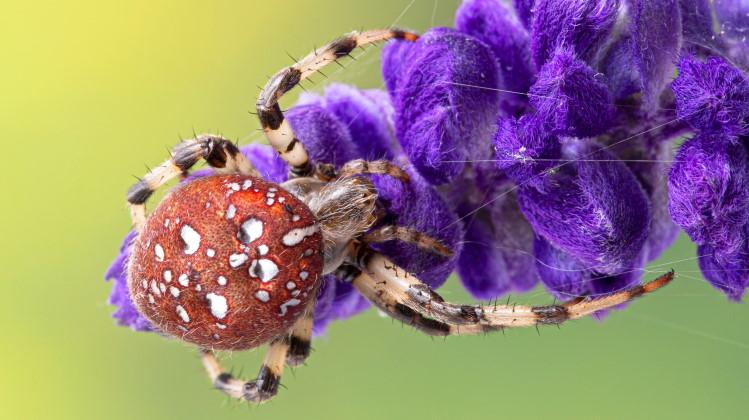 Chelicerate spider Araneus trifolium