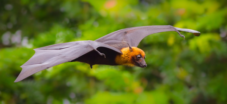 megachiroptera flying fox