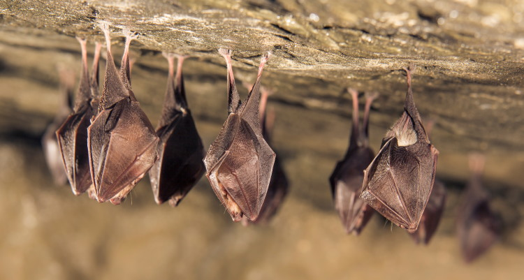 Microchiroptera horseshoe bat