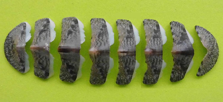 The shell plates of a Chiton.