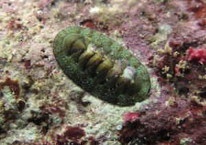 Polyplacophora Chiton mauritianus
