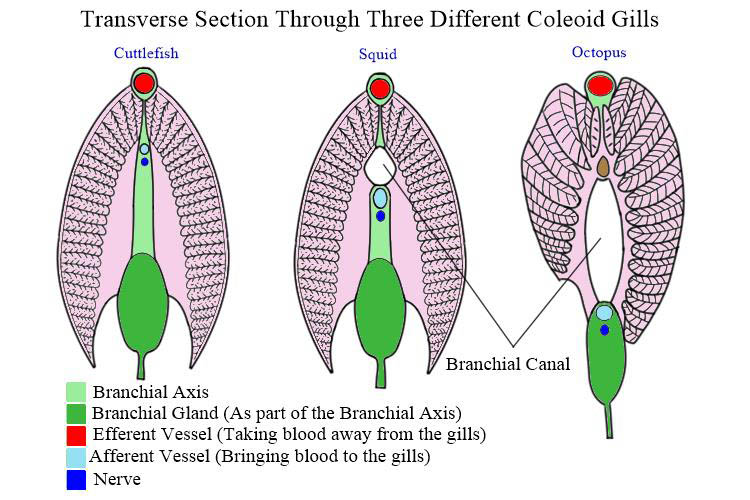 Tranverse sections through 3 coleoid gills
