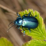 Coleoptera: The Insanely Massive Order Of The Beetles