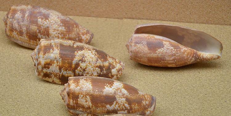 Shells of Conus geographus