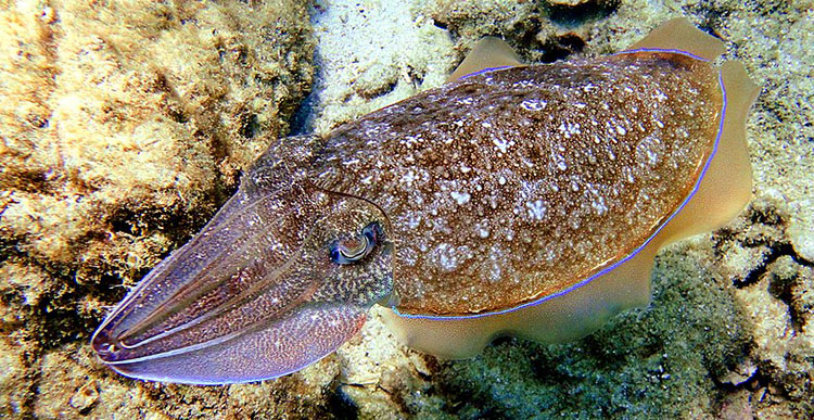 A Live Cuttlefish
