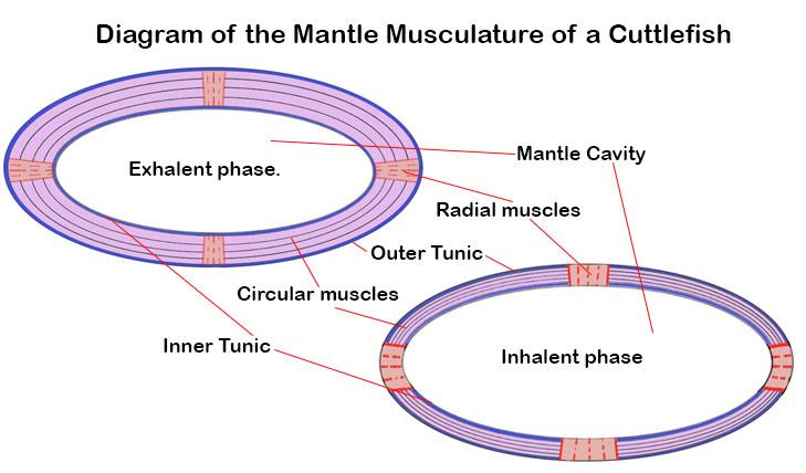A representative diagram of the mantle musculature of a coleoi cephalopod.