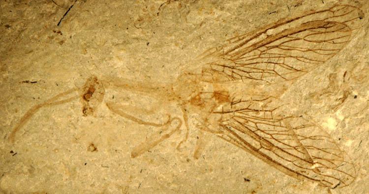 Fossil Raphidioptera