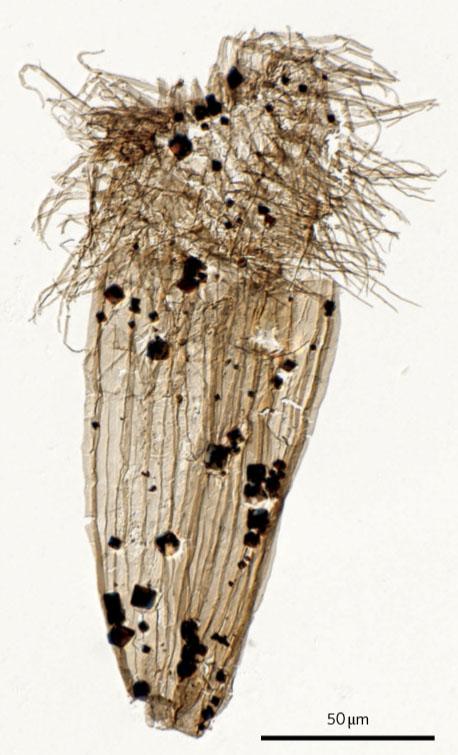Fossil Loriciferan Eolorica deadwoodensis