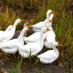Anseriformes: The World Of Geese, Waterfowl & Whistling Ducks