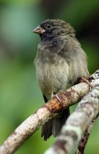 Black-faced Grassquit bird intelligence